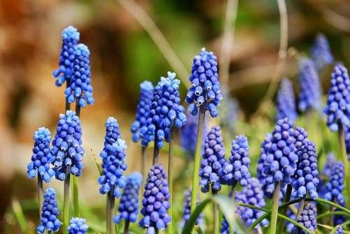 Muscari Blossom Bloom Flower Blue Ornamental Plant