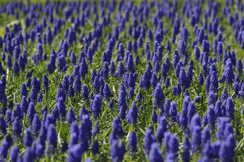 Muscari Field Flower Blue Nature Spring