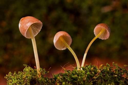 Mushroom Moss-Häublinge Mushrooms Mini Mushroom