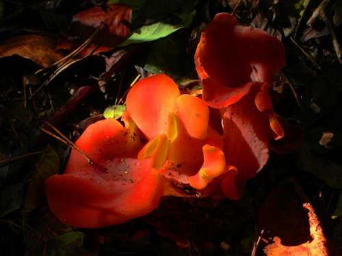 Mushroom Red Becherling Common Orange Becherling