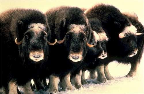 Musk Oxen Mammals Herd Wildlife Nature Wild Fur