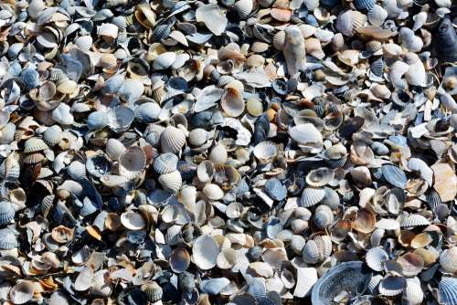 Mussels Baltic Sea Beach Coast Mussel Shells