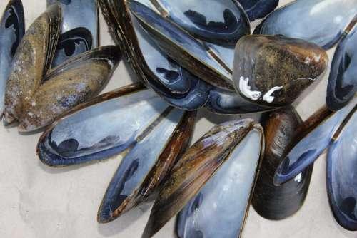 Mussels Shells Shellfish Marine Food Bait