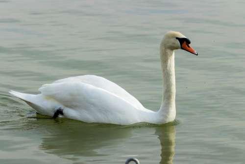 Mute Swan Swan White Bird Swim Pride Elegant