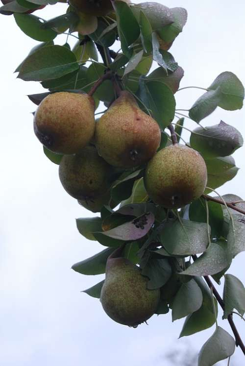 Nails Bulb Most Pear Swabian Local Places High-Stem