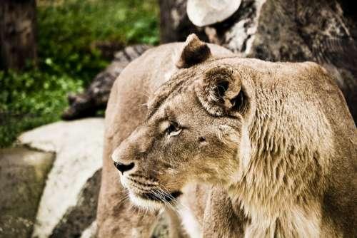 Lion Wildcat Predator Zoo Nature Feline Animal
