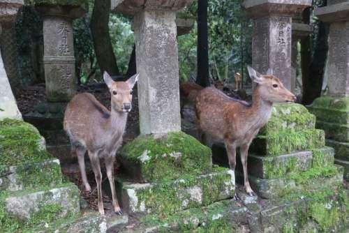 Nara Small Deer Kasuga Taisha Shrine