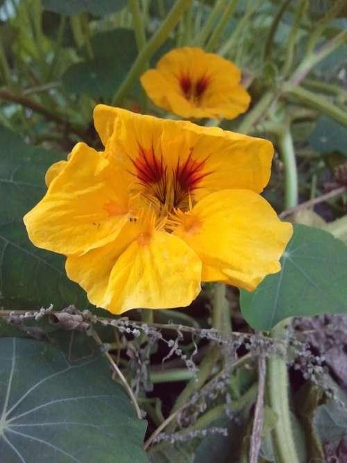 Nasturtium Orange Green Flower Blossom Bloom