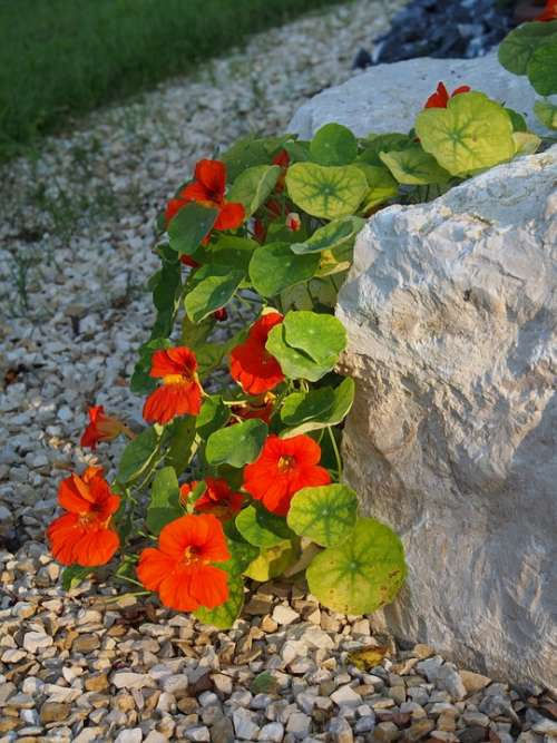 Nasturtium Flower Red Blossom Bloom Garden