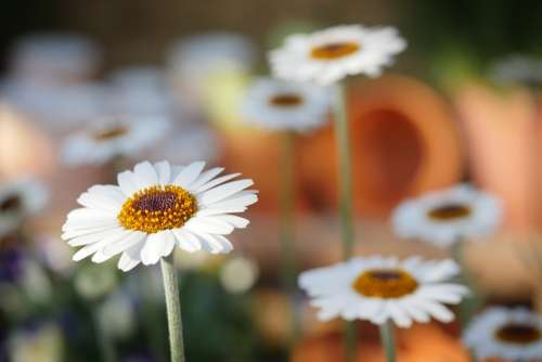 Nature Daisies Daisy Flower Plant Spring Flowers