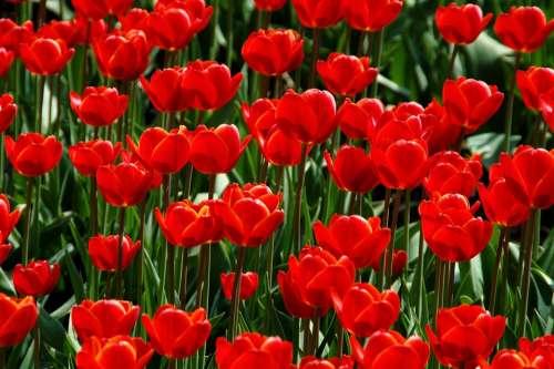 Nature Garden Plant Tulip Season Red