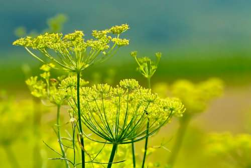 Nature Fennel Summer Flowers Fennel Flowers Plant