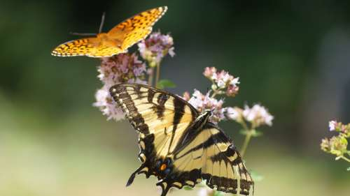 Nature Summer Yellow Butterflies New Hampshire