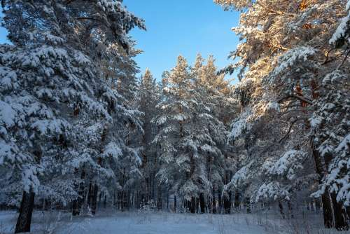 Nature Forest Winter Snow Trees Landscape
