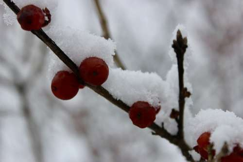 Nature Snow Winter Snow Covered Berries On Trees