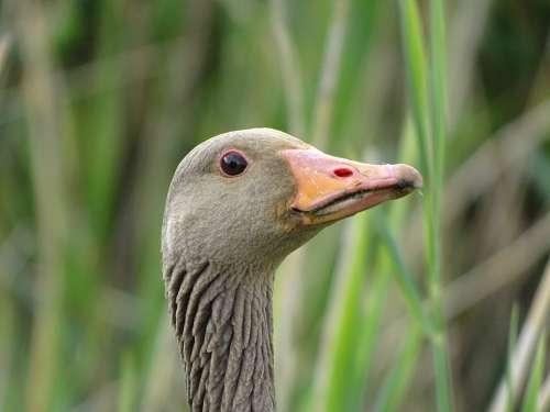 Nature Animal B Bird Fauna Wild Gray Goose Goose