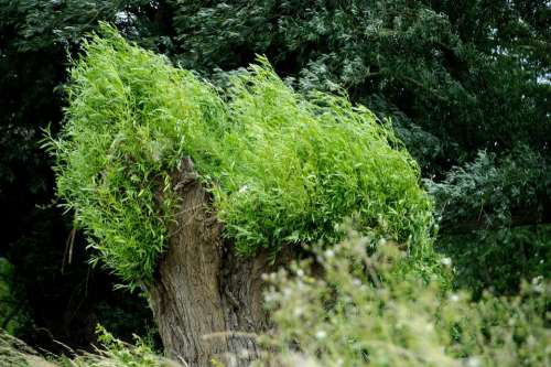 Nature Tree Willow Spring Leaves Summer Green