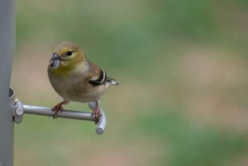 Nature Bird Wildlife Warbler Avian Pine Songbird