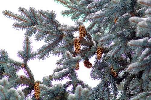 Nature Spruce Cones