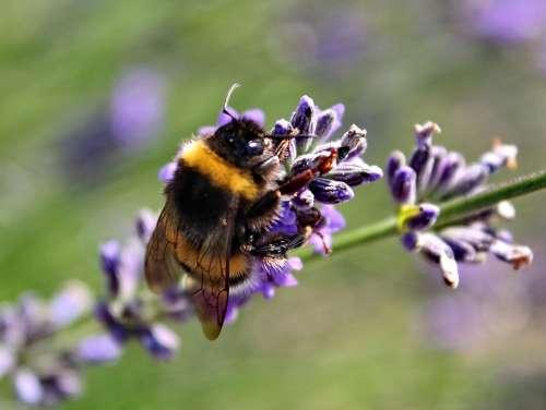 Nature Lavender Purple Plant Garden Summer Smell
