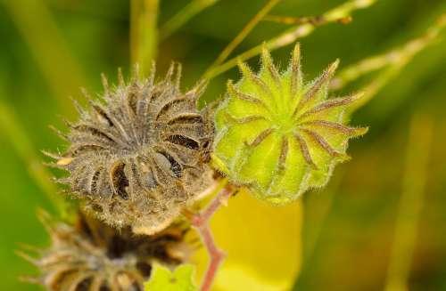 Nature Fruit Abutilon