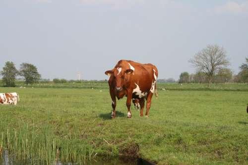 Nature Cows Landscape