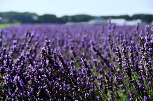 Netherlands Holland Lavender Landscape Flower