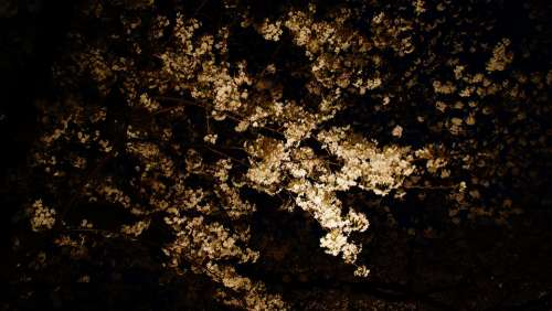 Night View Cherry Blossoms