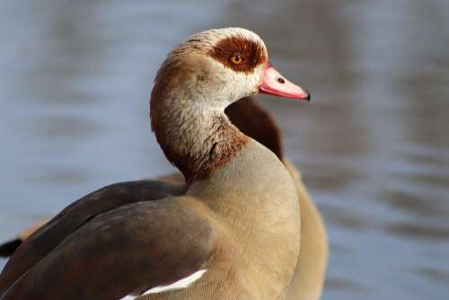 Nilgans Wild Goose Goose Water Bird Bill Plumage