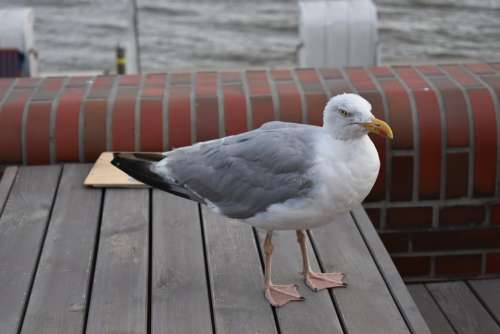 North Sea Bird Seagull