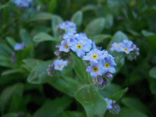 Nots Garden Spring Nature Blue Flowers