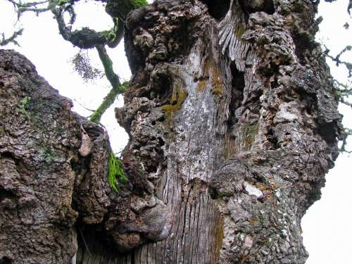 Oak Tree Gnarled Bark Trunk Oregon White Oak