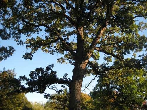 Oak Tree Park Nature Landscape Outdoor