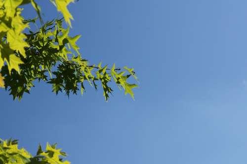 Oak Leaves Sky Leaves Oak Tree Nature Green Leaf