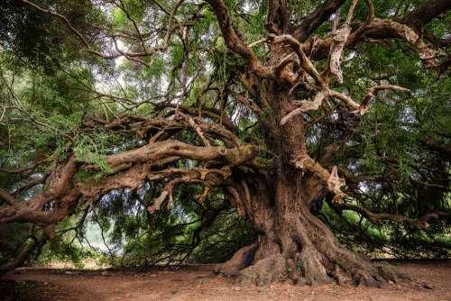 Olive Tree Tree Olivier Old Nature Log Tribe