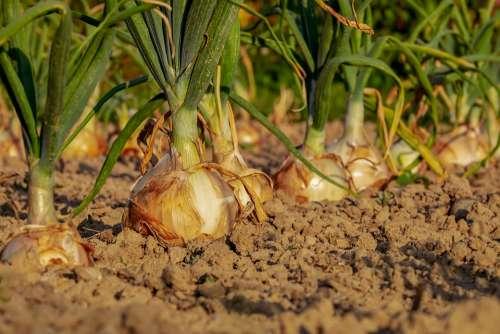 Onion Arable Field Onion Field Leek