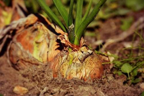 Onion Vegetable Plant Food Nutrition Soil Growth