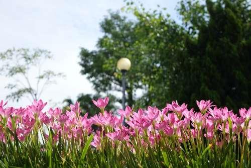 Onion Blue Lycoris Radiata Section Pink Chuang 蓮