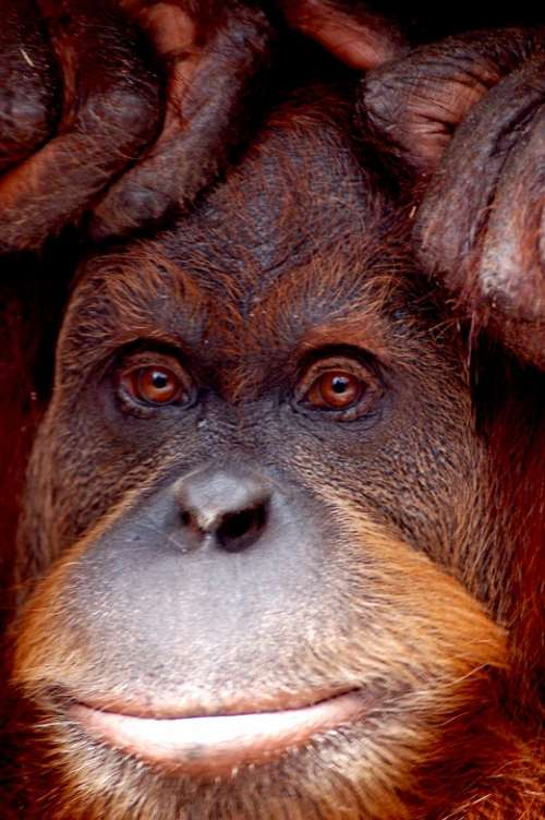 Orang Utan Monkey Zoo Melbourne Animal Portrait