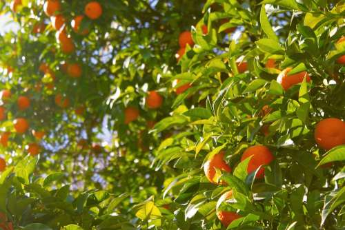 Orange Tree Oranges Tree Fruit Citrus Food