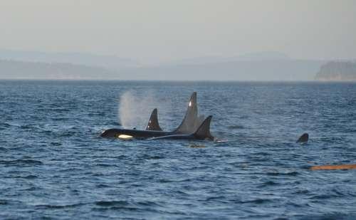 Orca Pod Killer Whale Ocean Swim Marine