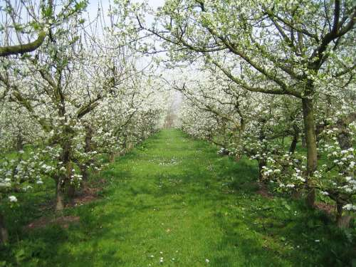 Orchard Nature Spring Apple Blossom