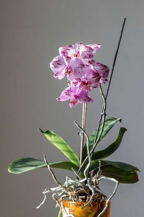 Orchid Flower Pink Nature Purple Phalaenopsis