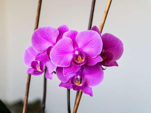 Orchid Flower Pink Nature Purple Phalaenopsis