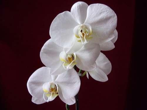 Orchid Flower Plants Nature White Decorative