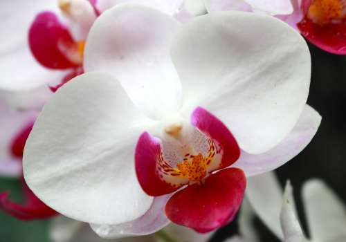 Orchid Flower Exotic Botanical Petal Flora White