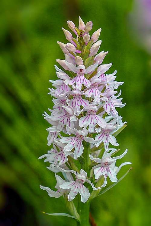 Orchid Common Spotted Color Purple Spotted Flower