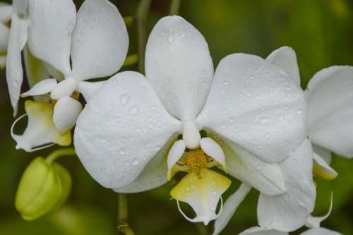 Orchid White Orchids Flower Dew