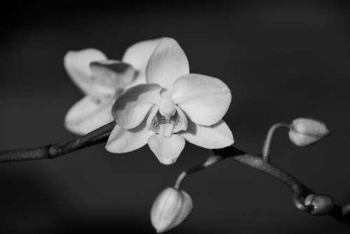 Orchid Blossom Bloom Flower Plant Phalaenopsis