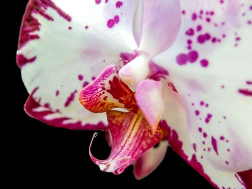 Orchid Phalaenopsis Flower Butterfly Orchid Blossom